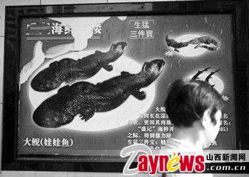 肉丝二级v肉丝国家娃娃鱼成新菜每斤卖2500元动物炒小茴香图片