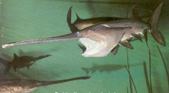 图为:匙吻鲟   腔棘鱼以及其他一些远古鱼类是最具典型性的活化石。与其他种类的活化石相比,远古鱼类在种类上则更具多样牲,它们已在大海中生活了4.5亿多年,为科学家们打开了一扇了解远古时代地球生态变化的窗户。   下面介绍的是仍生存在各大州江河湖海中的一些鲜为人知的远古鱼类。   比切鱼   比切鱼原产地在西非,是一种非常古老的刺鳍类深水淡水鱼,起源于3.