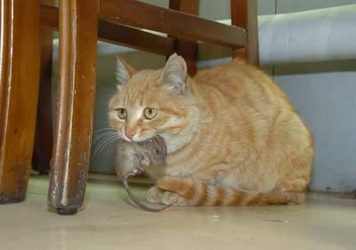 母猫捉回小老鼠和小猫养在一起[组图]