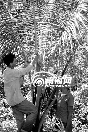 他割胶回家路过椰子树林时,发现地上散落着不少嫩白色的椰子树叶,往树