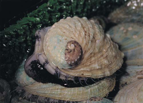 海洋 海洋生物 贝类 正文      许多人误认鲍鱼是蚌或蛤等双壳贝类,但