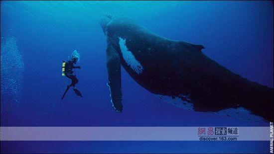 座头鲸母爱无限 像人一般紧抱幼崽[组图]