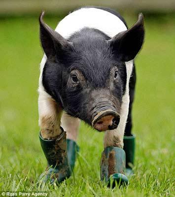 """英国小猪有""""洁癖"""" 泥巴中走路要穿靴子(图)"""