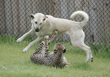 美国动物园一家亲:猎豹和牧羊犬的七年情(图)