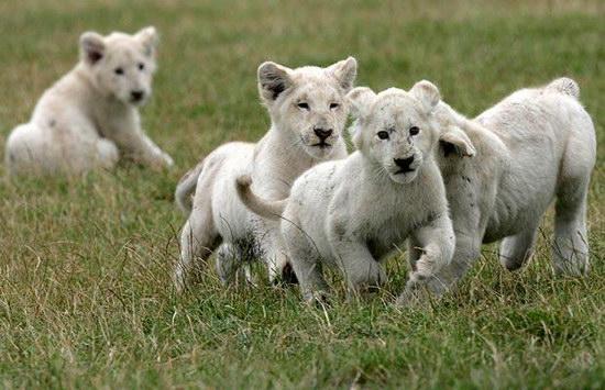 6只珍稀小白狮亮相英国动物园(组图)