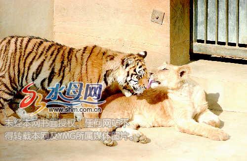 """烟台南山公园狮子老虎上演""""姐弟恋""""[图]"""