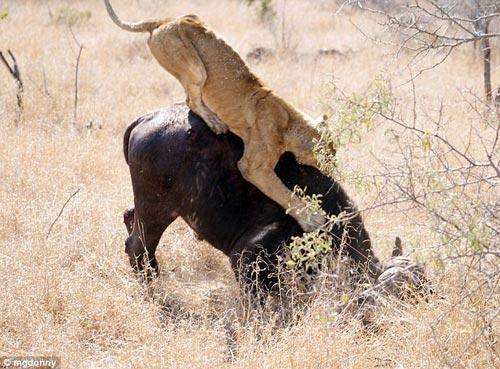 """南非国家公园上演野生狮子水牛""""肉搏记""""(图)"""