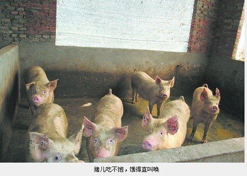 以避免出现更大的亏损,一头头没吃饱的肥猪饿得满圈跑直叫唤.