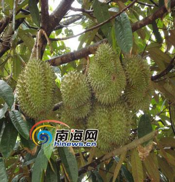 榴莲树在什么地方种植