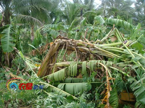 台风袭击过后的香蕉树