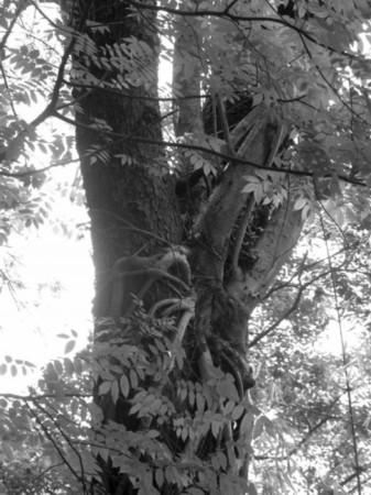 黄连木分叉处的黄桷树贵州老赖茅53度图片