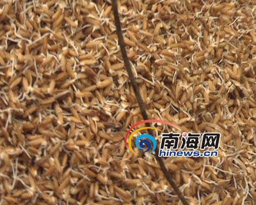 灾民家中的稻谷已被淹发芽(南海网记者李庆芳摄)