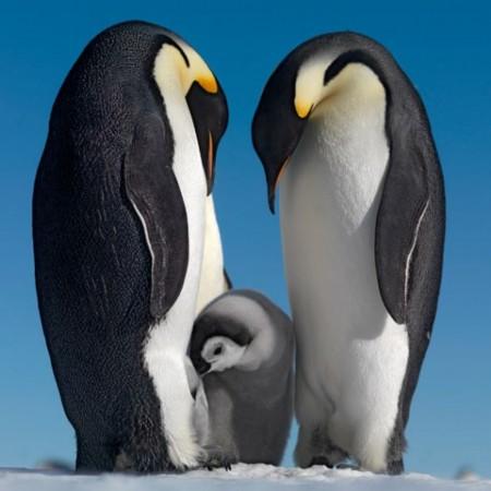 摄影师深入南极海岛拍摄帝企鹅生存状况(组图)