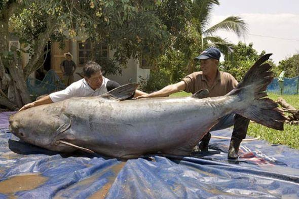 世界上最大的鲶鱼-12种 巨人 动物 中国鲸鲨重达8吨