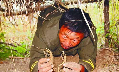 王学山从草棚下挖出两棵他种植的人参.