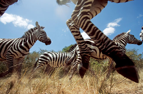 美国杂志拍摄动物大迁徙:九死一生的旅程(1)