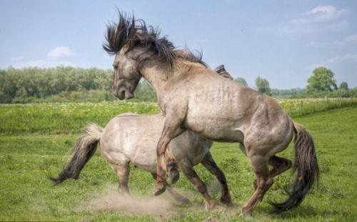 ton)在荷兰一处自然保护区捕捉到两匹种马抢地盘和交配权激烈争斗前腿