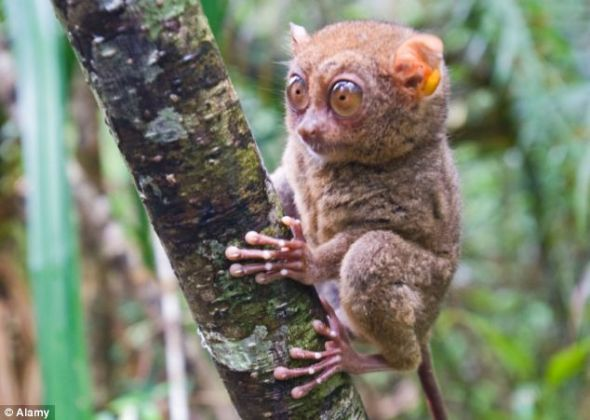 世界最小灵长类动物眼镜猴体长仅15厘米(组图)