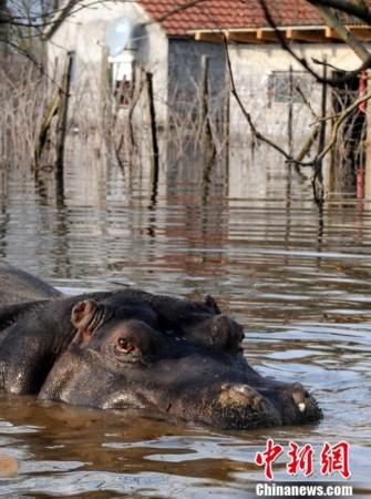 高清:巴尔干半岛大雨成灾 动物园河马出逃