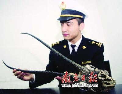 广州海关截获藏羚羊角图片
