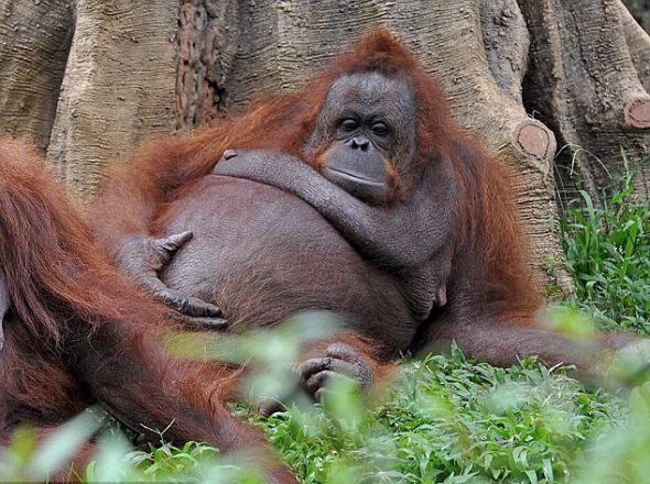 印尼圈养猩猩不爱运动肚大腰圆如同孕妇(组图)