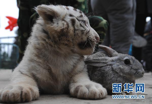 """""""熊猫体""""春联亮相云南野生动物园(组图)"""