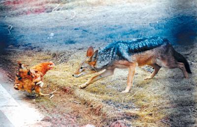 """长沙生态动物园启动野化训练 虎狮豹狼撒""""野"""""""