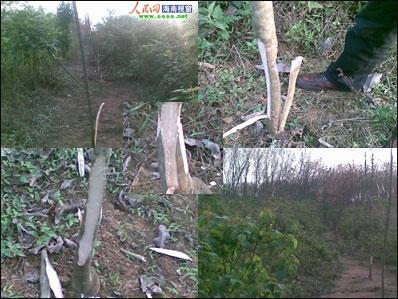 栏目发帖称,他家里的300多株橡胶树,不论大小,于3月13日晚上全部被砍