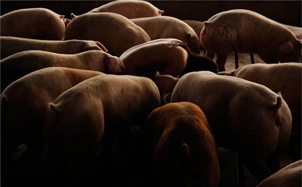 欧美裸体美女艺术照片_韩裔美女摄影师 裸体入镜与猪亲密接触