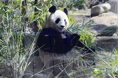 中国大熊猫日本东京上野动物园震后首亮相