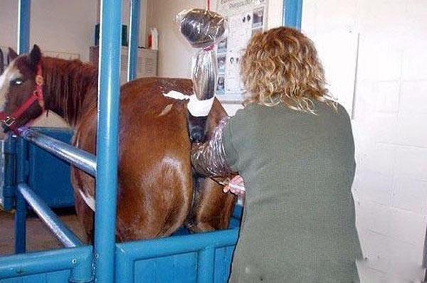 美女兽医为马配种全过程