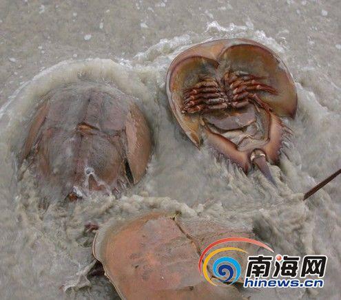 工作人员表示,海鲎不是保护动物,在三亚也并不罕见,目前还不清楚海鲎