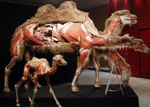 """克隆动物园""""动物标本世界""""展展出的骆驼标本,内部构造一览无余"""