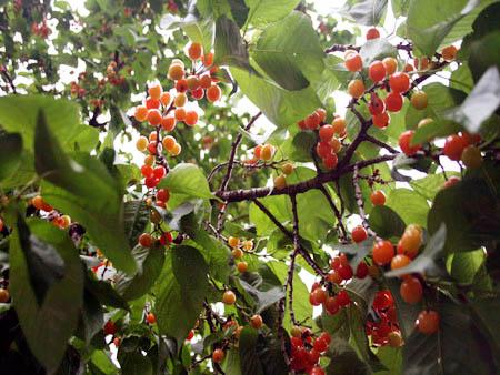 杵坭乡满树的红樱桃成熟啦