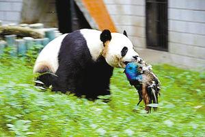 熊猫发威猎杀孔雀