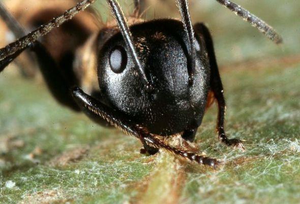 泰国木蚁感染真菌行为大变似游走僵尸   新浪环球地理讯 北京时间5月13日消息,据美国国家地理网站报道,生活在泰国热带雨林的冠层里的木蚁在感染一种寄生真菌后,行为会大变,似游走的僵尸。现在科学家更好地了解了这种蚂蚁被感染的方式,以及感染发展的进程。   这种名为Ophiocordyceps的真菌会控制木蚁的神经系统,使其出现怪异行为,帮助这种真菌繁殖后代。在这项最新研究中,科研人员利用显微镜观察了蚂蚁内部受到的影响,并查看了感染的发展进程。该研究组发现,正在生长的真菌会慢慢充满蚂蚁的身体和大脑,导致蚂蚁
