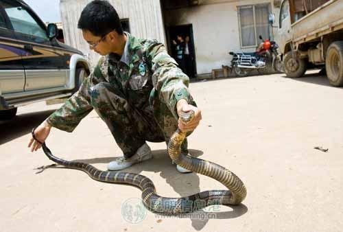被捕获的眼镜王蛇足有2米多长 记者张韩/摄
