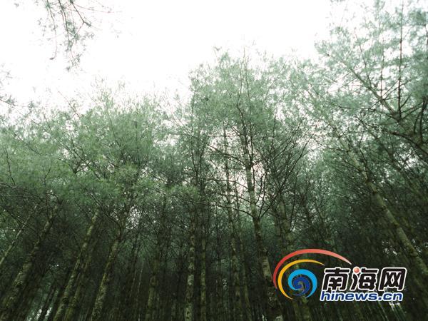 杨善洲当年栽下的树苗已长成参天大树(南海网特派记者杨隽莹摄)