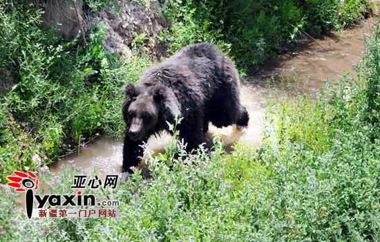 新疆天山野生动物园猩猩吃冰西瓜消暑(组图)