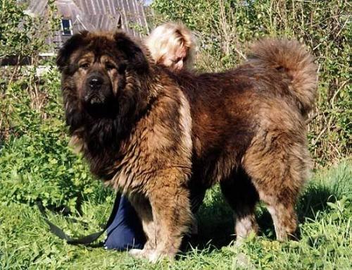 高加索犬:探秘世界上最大的狗(1)