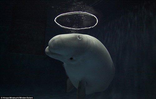 """【图】可爱白鲸吹泡泡 吹出""""光环""""萌翻你!"""