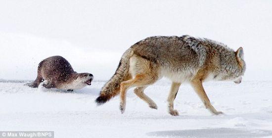 水獭只身吓跑野狼面对镜头昂然作胜利状(图)