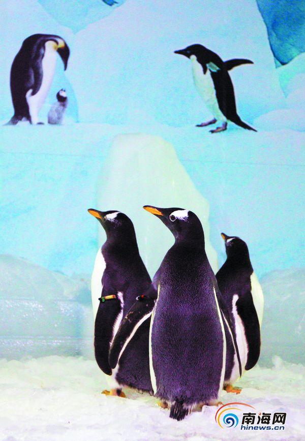 很开心   小读者见到企鹅惊叫连连   来到海口的企鹅共有六只,近日本报也向社会征集了6名小朋友,作为首批和小企鹅见面的观众,欢迎到来的南极大使。今天晚上,当得知小企鹅就要到了,这几位小朋友也迫不及待地提前来到海口体育馆,等待小企鹅的到来。   好事也要多磨,由于飞机晚点,小企鹅也来晚了,可这并没有影响小朋友的心情。当一切准备就绪,可以参观的时候,小朋友们呼啦一下子就冲了进来,当看到刚从保温箱里出来,正在舒展筋骨的企鹅,小朋友们惊叫连连,呀!这就是小企鹅啊!啊!好可爱呀!小朋友们趴在玻璃上认真