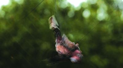 一只斑鸠被捕获,它拼命在网上挣扎.