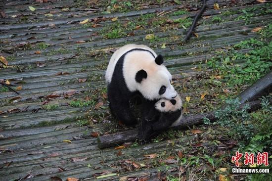 大熊猫妈妈半野化环境中喂养宝宝
