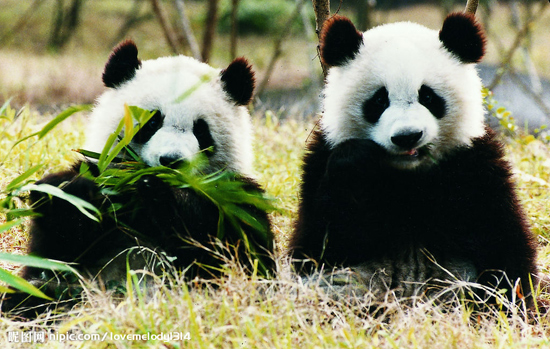 熊猫(资料图)   国际在线专稿:据英国广播公司11月28日报道,来自中国的两只大熊猫甜甜(Tian Tian,雌性)和阳光(Yang Guang,雄性)将离开卧龙老家,乘专机于12月4日飞抵英国爱丁堡(Edinburgh),并呆上10年。这是时隔17年后,中国大熊猫首次登陆英伦三岛。   两只熊猫将乘坐波音777专机抵达,这种飞机可以在不需中转的情况下直抵爱丁堡,减少熊猫的旅途劳顿。英国饲养员艾莉森麦克莱恩(Alison Maclean)已经在卧龙自然保护区与两只熊猫一起生活了3周。她也是爱丁堡动