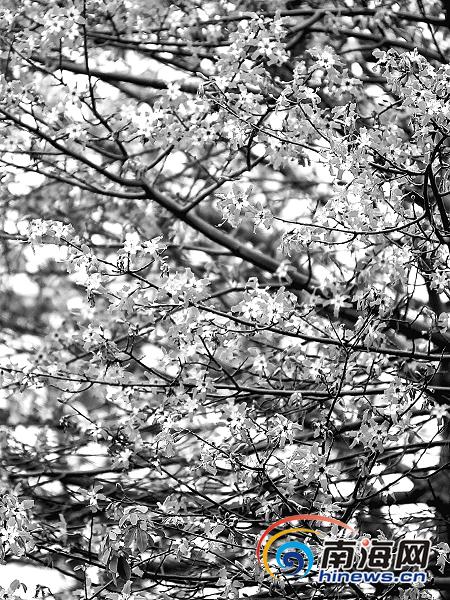 木棉树12月开花照片引质疑 没错这是异木棉树