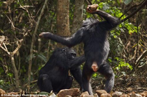 人和猩猩杂交视频回放