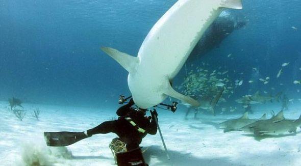 水下摄影师遭遇3.6米虎鲨袭击幸运逃生(图)
