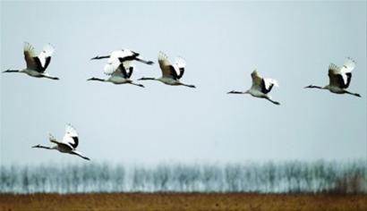 湿地危机愈演愈烈 盐城丹顶鹤99年后再未达千只